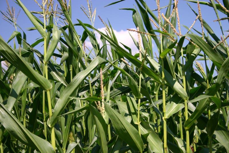 Centrales de maïs photographie stock libre de droits
