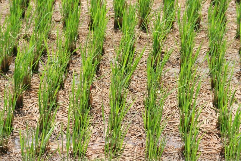 Centrales de riz vertes images libres de droits