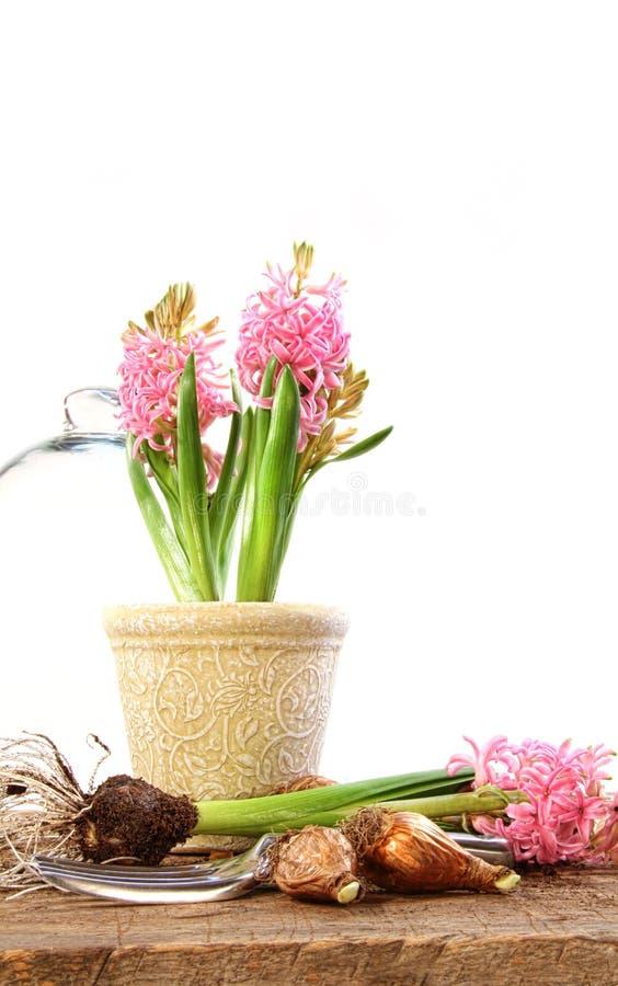 Download Centrales De Rose De Jacinthe D'ampoules Photo stock - Image du couleur, lame: 8655896