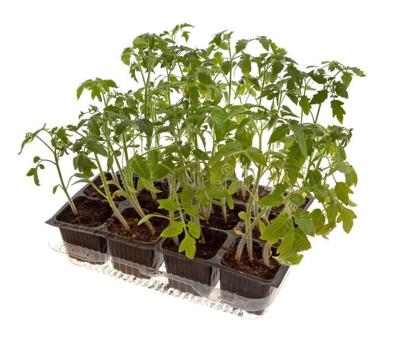 Centrales de tomate photos libres de droits