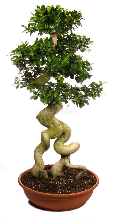 Centrales mises en pot d'arbre de bonzaies photographie stock libre de droits