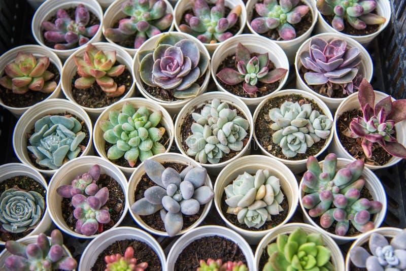 Centrales succulentes photos stock