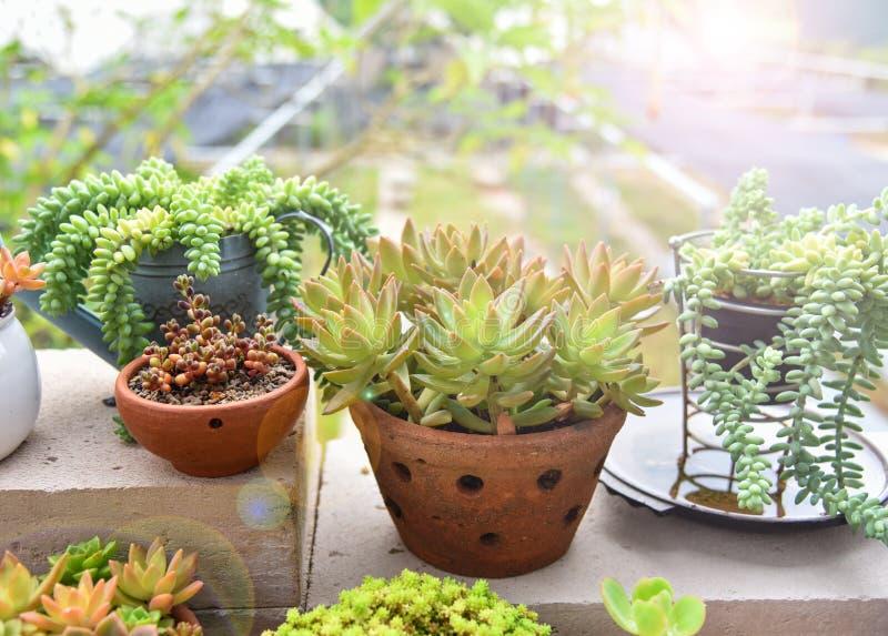 Centrales succulentes images stock