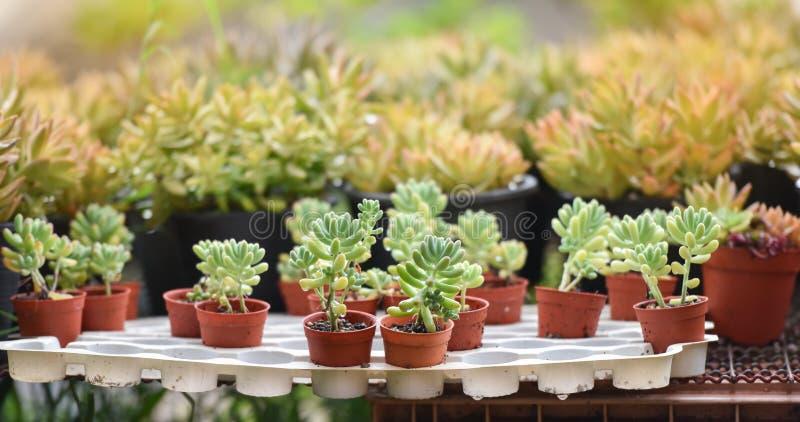 Centrales succulentes photographie stock