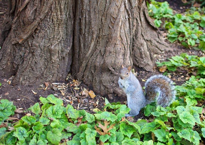 centralnego miasta squrriel nowy parkowy York fotografia stock