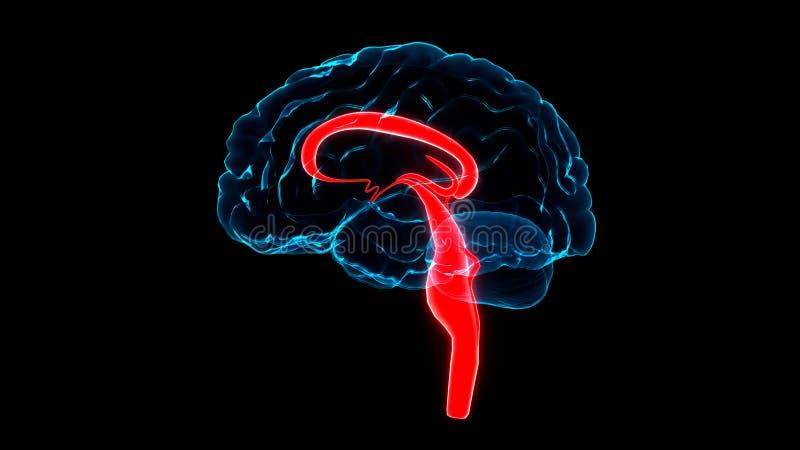 Centralt organ av den mänskliga nervsystemet Brain Anatomy vektor illustrationer