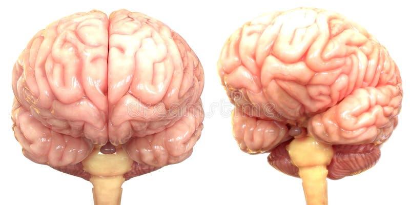 Centralt organ av den mänskliga nervsystemet Brain Anatomy royaltyfri illustrationer