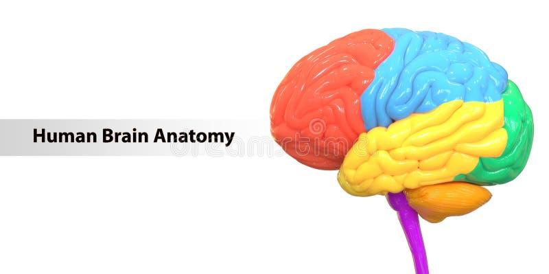 Centralt organ av den mänskliga nervsystemet Brain Anatomy stock illustrationer