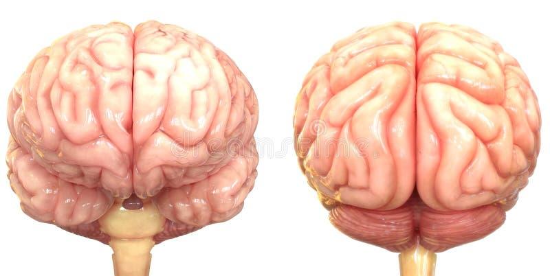 Centralt organ av den m?nskliga nervsystemet Brain Anatomy royaltyfri illustrationer