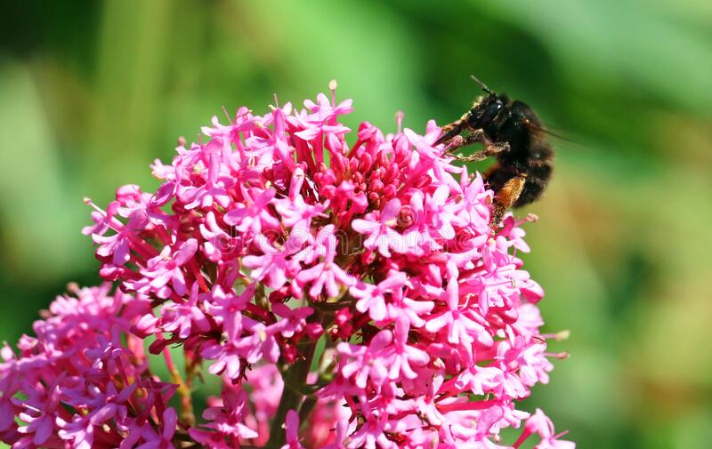 Centranthus flower with bee. royalty free stock photos