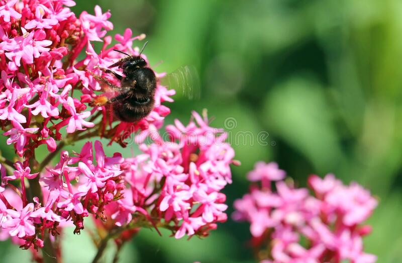 Centranthus flower with bee. stock photos