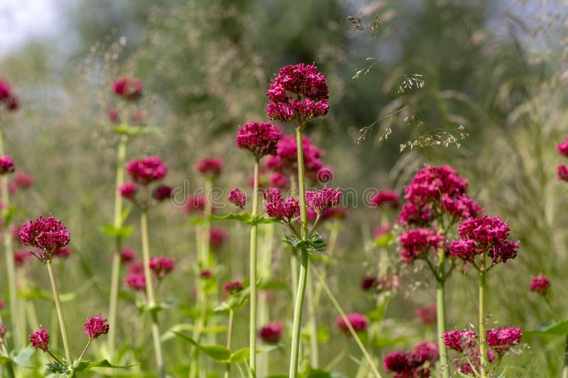 Centranthus ruber flowering plant, bright red pink flowers in bloom, green stem and leaves, ornamental flower. Centranthus ruber flowering plant, bright red pink royalty free stock image