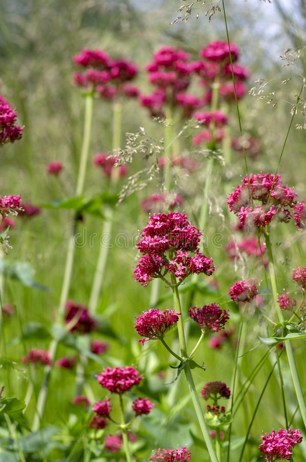 Centranthus ruber flowering plant, bright red pink flowers in bloom, green stem and leaves, ornamental flower. Centranthus ruber flowering plant, bright red pink stock image