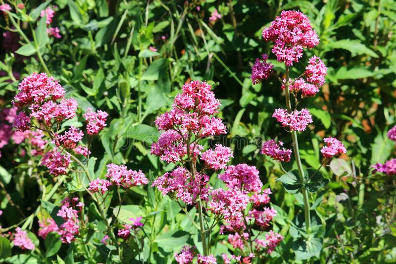Centranthus ruber stock photography