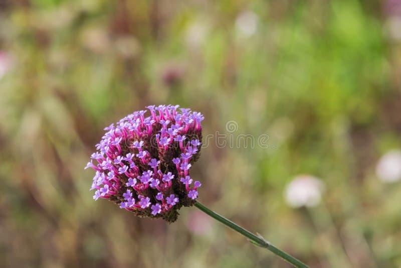 Centranthus ruber hübscher Betsy mit weichen Gruppen von kleinen, Trompete-förmigen rosa Blumen oder von rotem Baldrian stockfotos