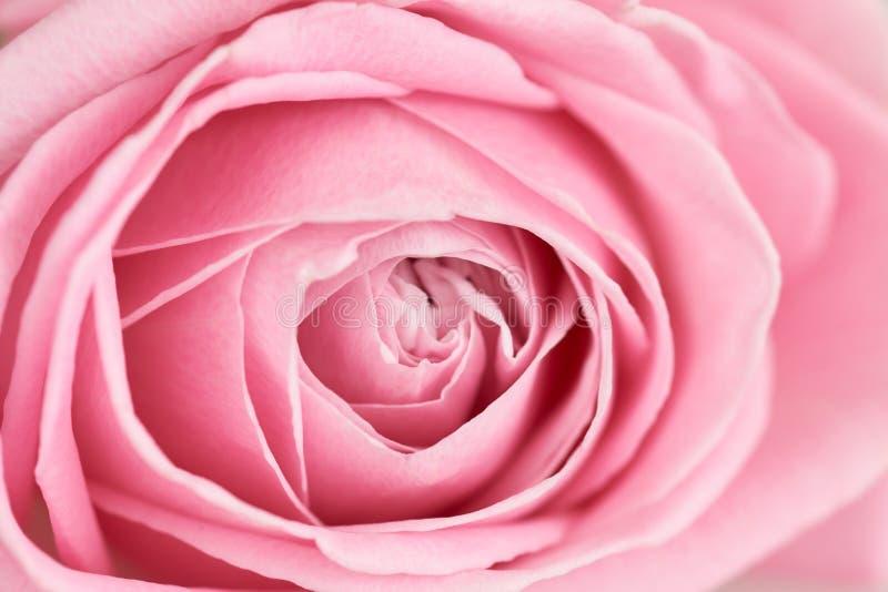 Centre de plan rapproché doucement de rose de rose image libre de droits