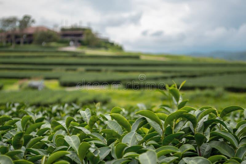 Centre de premier plan des feuilles fraîches de thé vert d'Oolong dans une plantation en terrasse image libre de droits