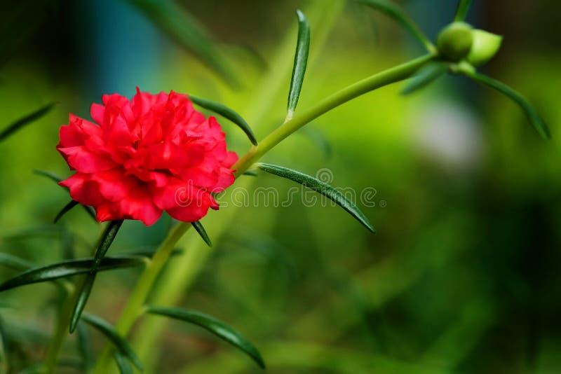 Centre haut et mou de fin de fleur rouge de Rosemoss à l'arrière-plan vert de jardin images libres de droits