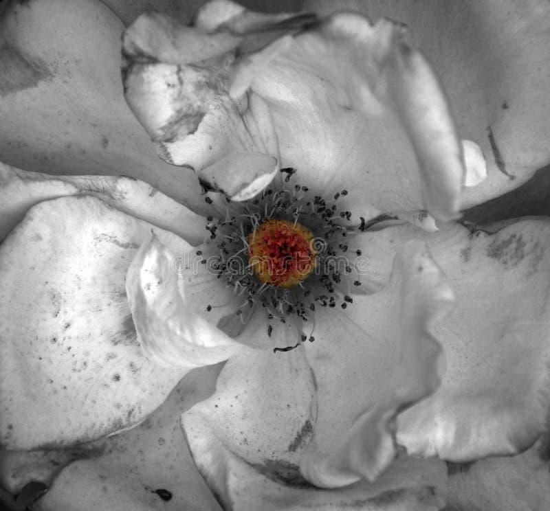 Centre orange grunge artistique de fleur blanche texturisé images stock