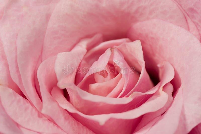Centre rose de petit rose photo stock