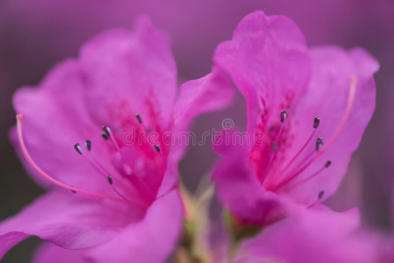 centre sélectif de belle violette de floraison fraîche photo stock
