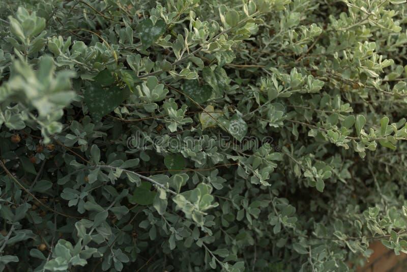 Centre sélectif de fin vers le haut de la feuille de l'herbe verte de buisson et blured photos stock