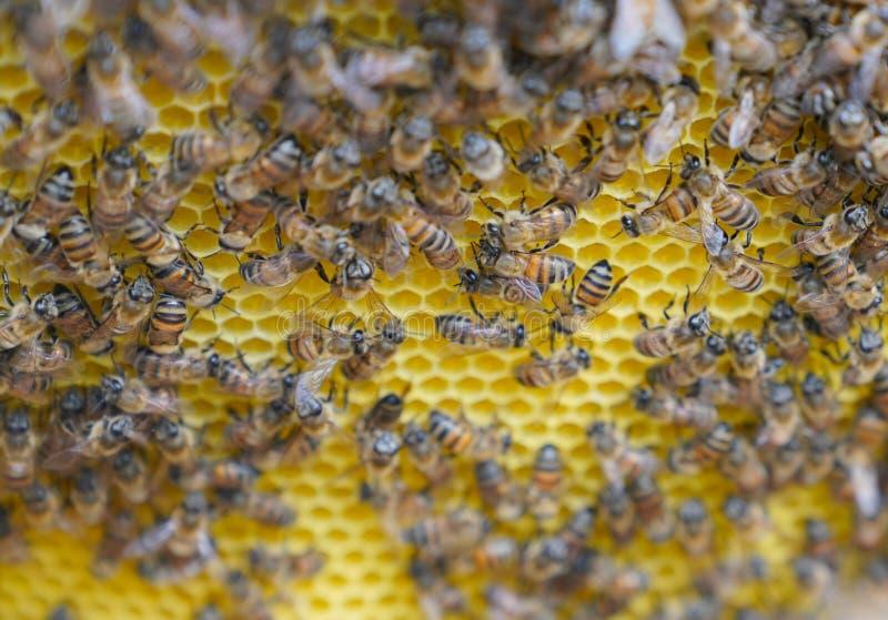 Centre sélectif des abeilles de travail sur des cellules de miel photos libres de droits