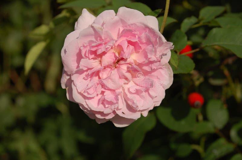 Centrerad rosa blomma med röda kulor royaltyfri fotografi