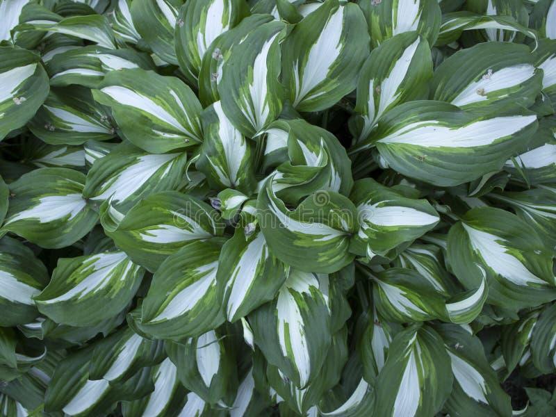 Centres serveurs de buissons avec les feuilles blanc vert rayées image libre de droits