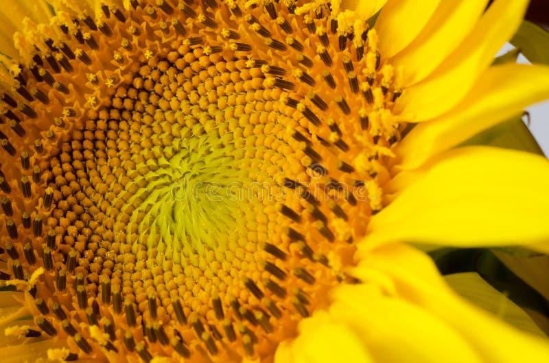 Centro amarillo brillante del cierre del girasol para arriba Fondo del swasonal del verano foto de archivo