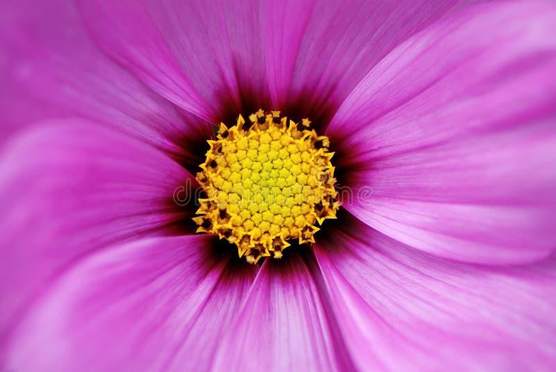 Centro da flor do cosmos fotografia de stock