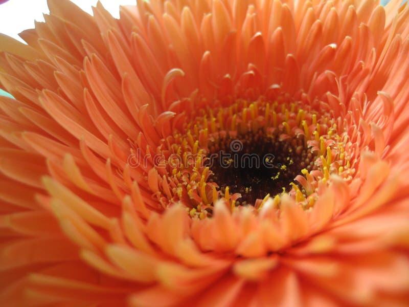 Centro de una flor fotografía de archivo