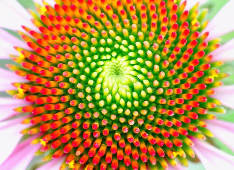Centro di bello coneflower che mostra il modello di Fibonacci fotografia stock libera da diritti