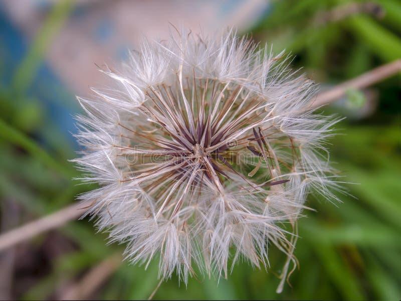 Centro falso do fluff da semente do dente-de-leão foto de stock