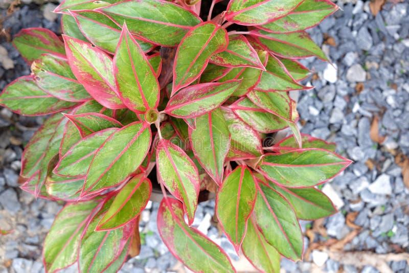 Centro foco seleccionado de la planta del aglaonema for Plantas hoja perenne
