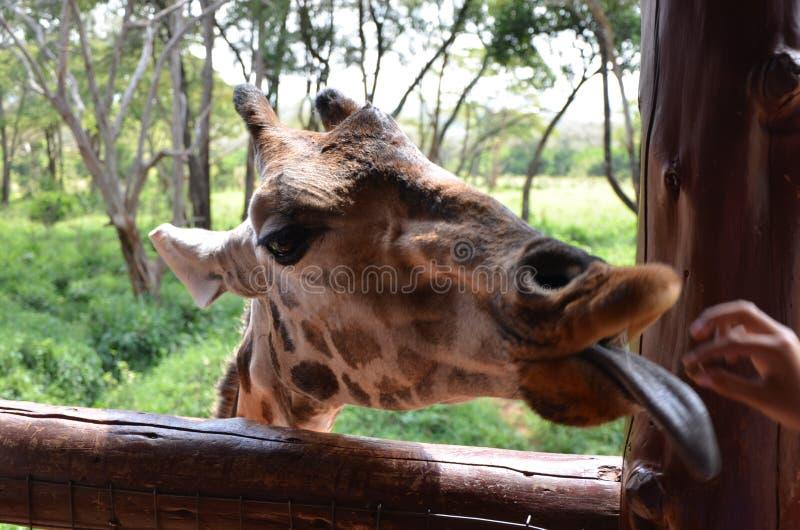 Centro Nairobi de la jirafa fotografía de archivo