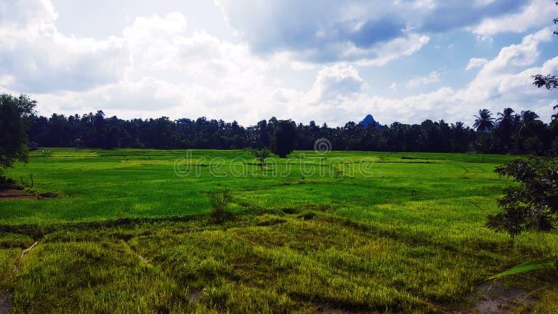 Centro solo del árbol del campo de arroz fotos de archivo libres de regalías