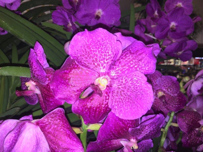 Centrowana purpur i bielu Vanda orchidea zdjęcia stock
