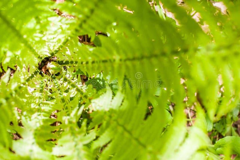 Centrum of hart van verse varenstruik met jong krullend hoofd De achtergrond van de aard Patroon van de zomer het groene bosinsta stock foto's