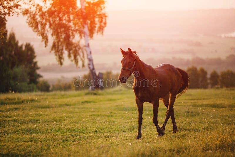 Centrum rama jest brązu koniem W tle, biała brzoza na odległości, ty możesz widzieć zieloną łąkę i drzewa obraz royalty free