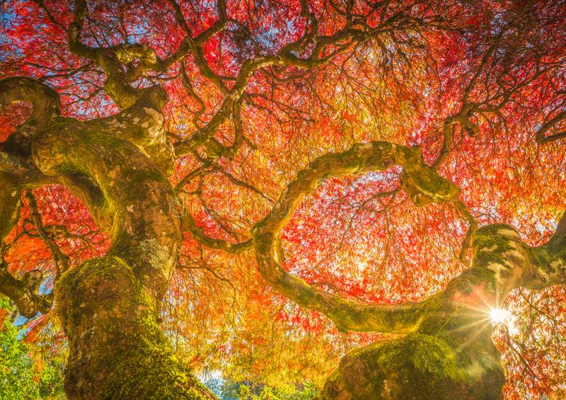 Century Japanese Maple in autumn colors. This is a century-old Japanese maple in autumn colors royalty free stock image
