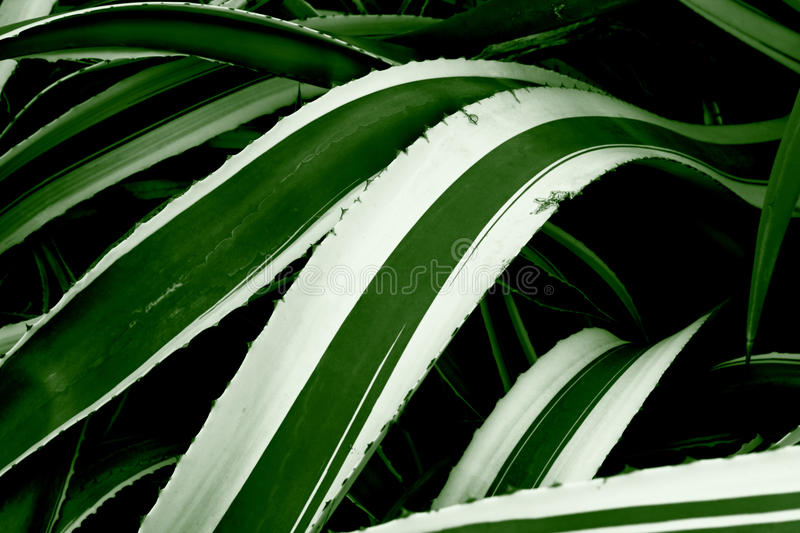 Download Century Plant stock image. Image of maguey, thorns, spikes - 17864001
