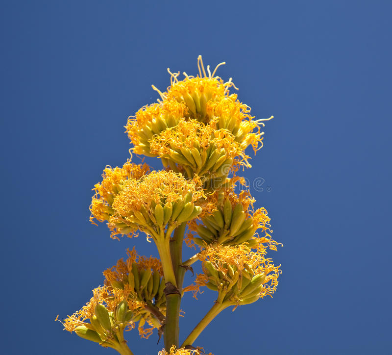 Century Plants Bloom In Desert Royalty Free Stock Photography