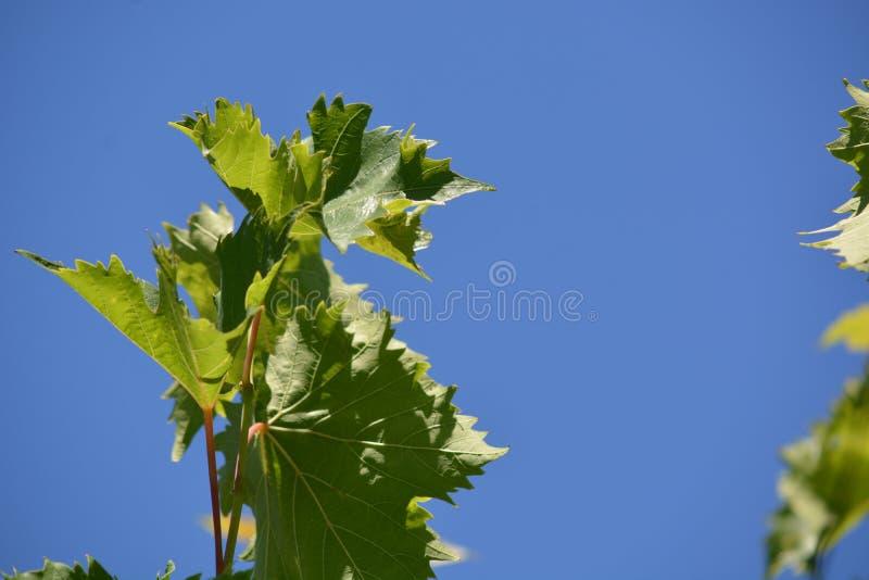 Cep de vigne photos stock