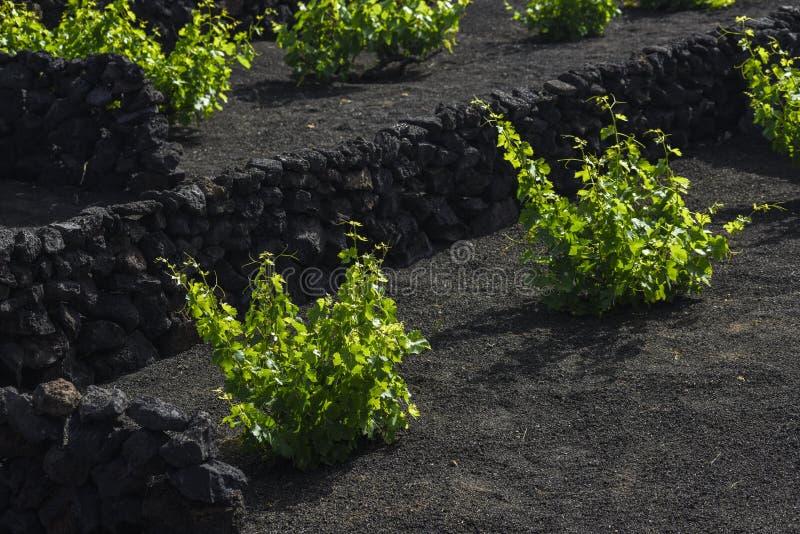 Cep de vigne dans les vignobles noirs de la région de Geria de La où la vigne est cultivée dans le sol volcanique de lave, Lanzar photos stock