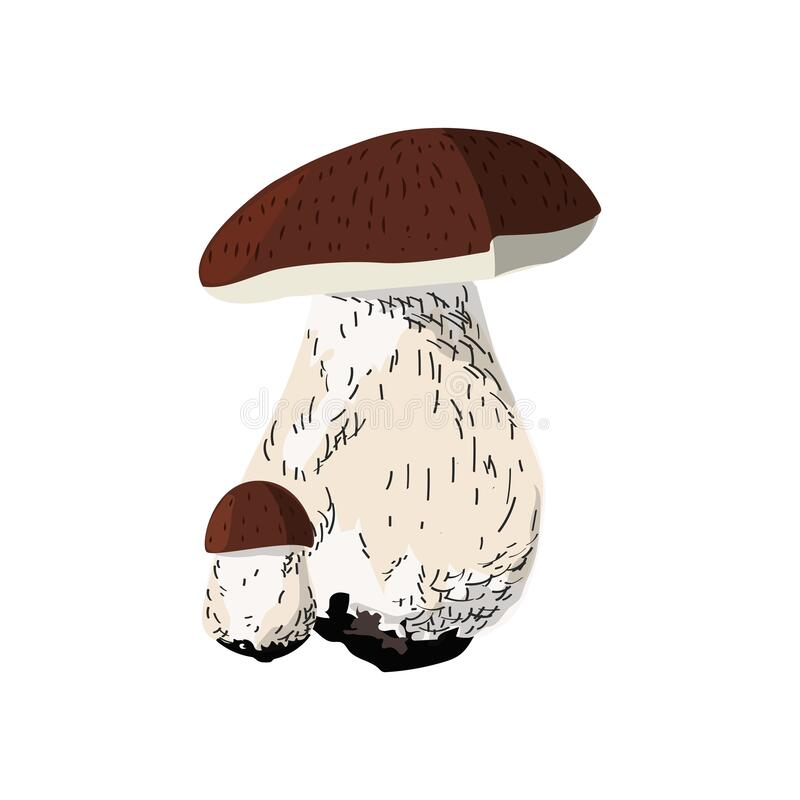 Cep small and big. Autumn harvest wild mushrooms. Boletus edulis. Autumn harvest wild mushrooms. Boletus edulis. Cep small and big royalty free illustration