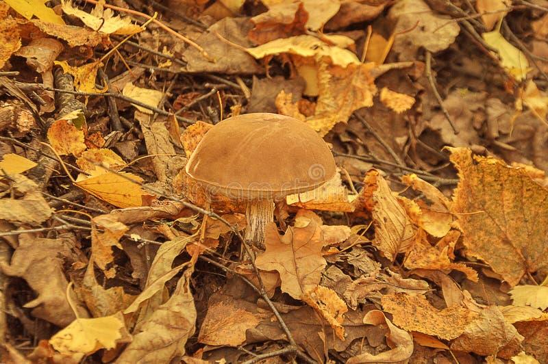 Cepa-de-bordéus, folhas amarelas do iin do boleto, estação do outono pouco cogumelo fresco no musgo, crescendo no conceito da col fotografia de stock royalty free
