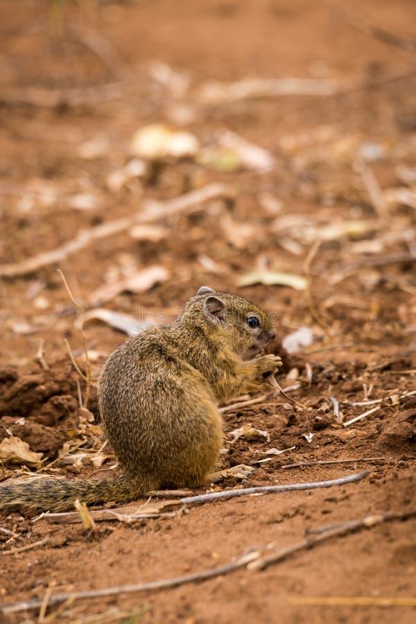 Cepapi de Paraxerus d'écureuil d'arbre mangeant des graines au sol, Afrique du Sud photos libres de droits