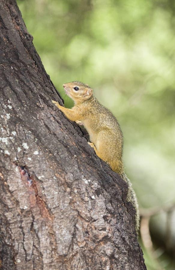 Cepapi de Paraxerus d'écureuil du ` s Bush de Smith grimpant à un arbre photo stock