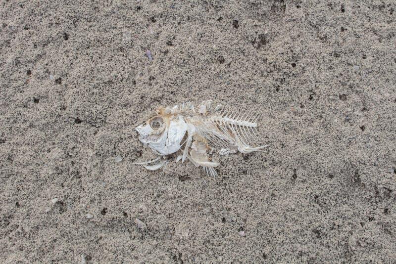 Cependant, poissons d'os, poissons morts parce que l'eau photos stock